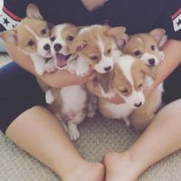 Corgi Puppies for sale in Chicago Ridge, IL, USA. price: NA