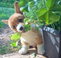 Corgi Puppies for sale in Sacramento, CA 95834, USA. price: NA