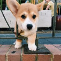 Corgi Puppies for sale in KY-146, Louisville, KY, USA. price: NA