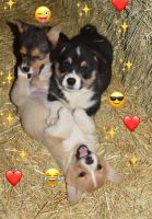 Corgi Puppies for sale in Allenton, WI 53002, USA. price: NA