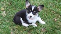 Corgi Puppies for sale in Santa Monica, CA, USA. price: NA