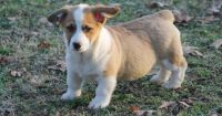 Corgi Puppies for sale in St Anthony, MN 55421, USA. price: NA