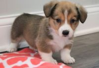 Corgi Puppies for sale in Louisville, KY, USA. price: NA