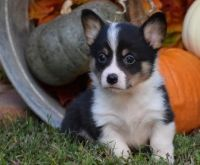 Corgi Puppies for sale in Boston, MA 02109, USA. price: NA