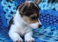 Corgi Puppies for sale in Flint, MI 48504, USA. price: NA