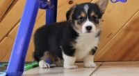 Corgi Puppies for sale in Buechel, KY 40218, USA. price: NA