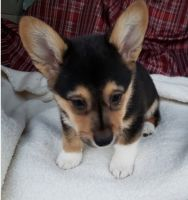 Corgi Puppies for sale in New Bedford, MA 02741, USA. price: NA