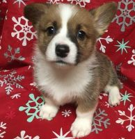 Corgi Puppies for sale in Hartford, CT 06106, USA. price: NA