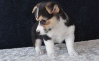 Corgi Puppies for sale in Charleston, WV 25326, USA. price: NA