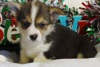 Corgi Puppies for sale in Piedmont, CA 94610, USA. price: NA