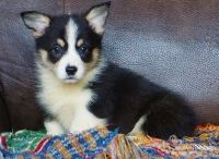 Corgi Puppies for sale in Mountain Brook, AL 35259, USA. price: NA