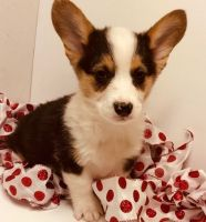 Corgi Puppies for sale in Mountain Brook, AL 35209, USA. price: NA