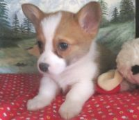 Corgi Puppies for sale in Columbus, OH 43214, USA. price: NA