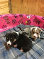Corgi Puppies for sale in Cleveland, TX, USA. price: NA