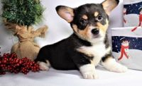 Corgi Puppies for sale in Lansing, MI 48912, USA. price: NA