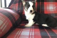 Corgi Puppies for sale in Detroit, MI 48227, USA. price: NA