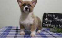Corgi Puppies for sale in Detroit, MI 48219, USA. price: NA