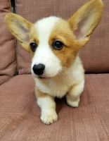 Corgi Puppies for sale in Sacramento, CA, USA. price: NA