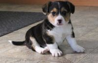Corgi Puppies for sale in Birmingham, AL 35232, USA. price: NA