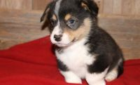 Corgi Puppies for sale in Chicago, IL 60616, USA. price: NA