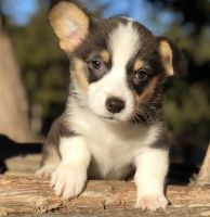 Corgi Puppies for sale in Columbus, OH, USA. price: NA