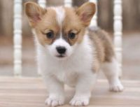 Corgi Puppies for sale in Chicago, IL 60620, USA. price: NA
