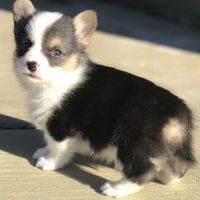 Corgi Puppies for sale in Portland, OR 97213, USA. price: NA