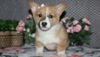 Corgi Puppies for sale in Newark, NJ 07189, USA. price: NA