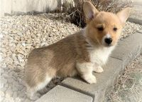 Corgi Puppies for sale in Boston, MA 02123, USA. price: NA