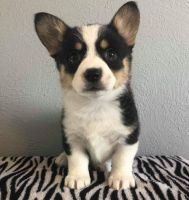 Corgi Puppies for sale in Phoenix, AZ 85024, USA. price: NA