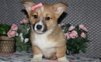 Corgi Puppies for sale in Omaha, NE, USA. price: NA
