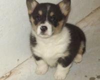 Corgi Puppies for sale in Harrisburg, PA, USA. price: NA