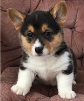 Corgi Puppies for sale in Arlington, VA, USA. price: NA