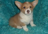 Corgi Puppies for sale in Salt Lake City, UT 84141, USA. price: NA