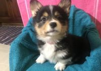 Corgi Puppies for sale in Portland, OR 97236, USA. price: NA