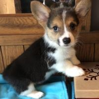 Corgi Puppies for sale in Portland, ME 04103, USA. price: NA