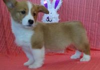 Corgi Puppies for sale in Waterbury, CT, USA. price: NA
