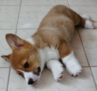 Corgi Puppies for sale in Maryland City, MD, USA. price: NA