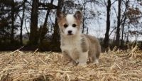 Corgi Puppies for sale in Baltimore, MD, USA. price: NA