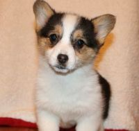 Corgi Puppies for sale in Richmond, VA, USA. price: NA