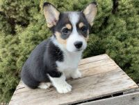 Corgi Puppies for sale in Fort Worth, TX, USA. price: NA