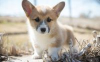 Corgi Puppies for sale in Denver, CO 80281, USA. price: NA