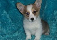Corgi Puppies for sale in Lexington, KY 40574, USA. price: NA
