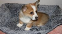 Corgi Puppies for sale in New Orleans, LA 70175, USA. price: NA