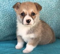 Corgi Puppies for sale in Flint, MI, USA. price: NA