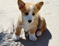 Corgi Puppies for sale in Springfield, IL 62736, USA. price: NA