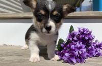 Corgi Puppies for sale in Knoxville, TN, USA. price: NA