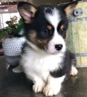 Corgi Puppies for sale in Lansing, MI, USA. price: NA
