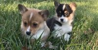 Corgi Puppies for sale in Newark, NJ 07107, USA. price: NA