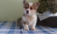 Corgi Puppies for sale in Mobile, AL, USA. price: NA